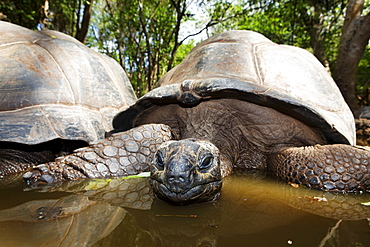 Giant turtles at giant turtle sanctuary, Changu Island, Prison Island, Zanzibar, Tanzania, Africa