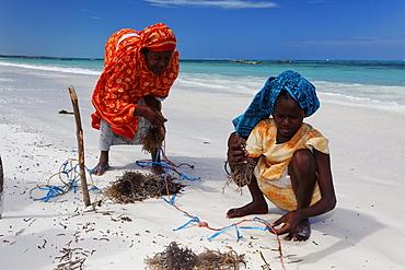 Female workers in seaweed farm, Jambiani, Zanzibar, Tanzania, Africa