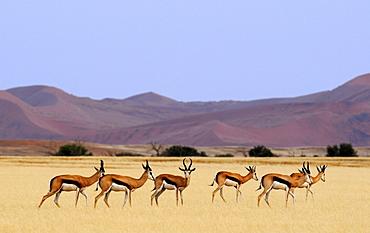 View of springboks, Sossusvlei, Namibia, Africa