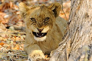 Lion cub, Etosha National Park, Namibia, Africa