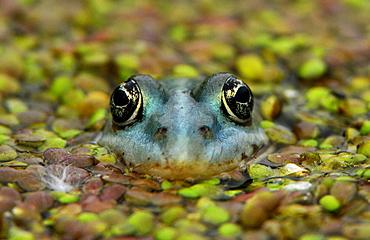 Frog, Usedom, Mecklenburg-Western Pomerania, Germany, Europe
