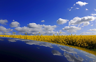 Canola field under white clouds, Usedom, Mecklenburg-Western Pomerania, Germany, Europe