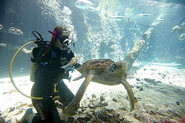 Diver with Green Sea Turtle, Reef HQ Aquarium, Townsville, Queensland, Australia