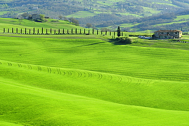 Farmhouse with alley of cypresses on a hilly meadow, Val d¥Orcia, UNESCO World Heritage Site Val d¥Orcia, Tuscany, Italy