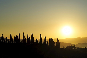 Cypresses in sunset, Val d¥Orcia, UNESCO World Heritage Site Val d¥Orcia, Tuscany, Italy