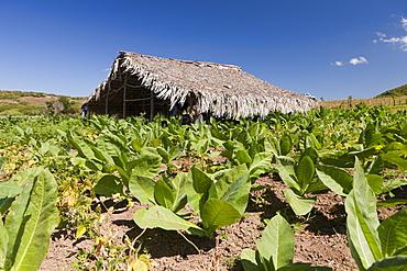 Tabacco Plantation in the Outback, Punta Rucia, Dominican Republic