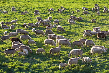 Grazing Sheep on Spring Meadow, Near Manacor, Mallorca, Balearic Islands, Spain