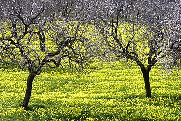 Blossoming Almond Trees in Wildflower Meadow, Near Randa, Mallorca, Balearic Islands, Spain