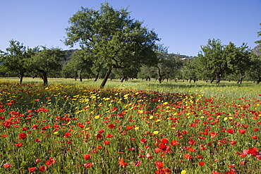 Glorious Wildflower Meadow and Almond Trees, Near s'Esgleieta, Mallorca, Balearic Islands, Spain
