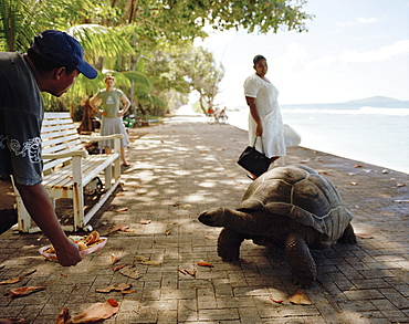 Owner luring 28 year old turtle on the promenade at Anse Banane, eastern La Digue, La Digue and Inner Islands, Republic of Seychelles, Indian Ocean