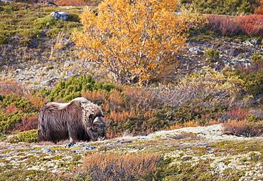 Muskox, Ovibos moschatus in DovrefjellñSunndalsfjella National Park, Norway
