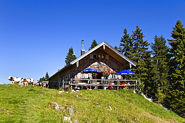 Mountain hut Sonnbergalm with cows in the sunlight, Mangfall mountains, Upper Bavaria, Germany, Europe