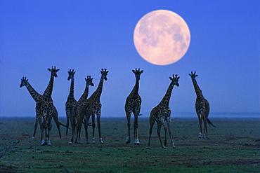 Massai giraffes at full moon, Serengeti, Tanzania, East Africa, Africa