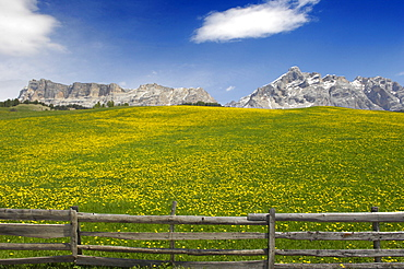 Flower meadow in front of mountains in the sunlight, St. Kassian, Gader valley, Alto Adige, South Tyrol, Italy, Europe