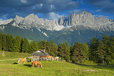 Haflinger horses in the pasture, Alto Adige, South Tyrol, Italy
