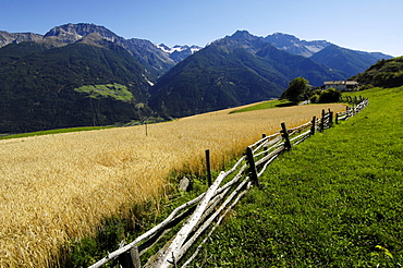 Rye fields at the Sonnenberg, Alto Adige, South Tyrol, Italy