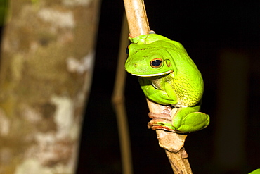 White lipped treefrog in the rainforest, Litoria infrafrenata, Iron Range National Park, Cape York Peninsula, North Queensland, Australia