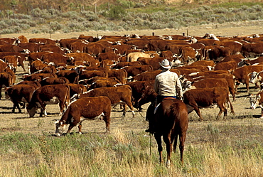 Cowboy on a horse in front of cattle herd, LX Ranch, Amarillo, Texas, USA, America