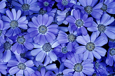 Blue flowers, Close-up