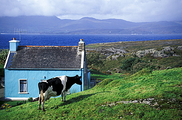 Cow in front of a cottage near Ardgroom, Co. Cork, Ring of Beara, Ireland