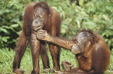 Two Orangutans, Pongo pygmaeus, Gunung Leuser National Park, Sumatra, Indonesia, Asia