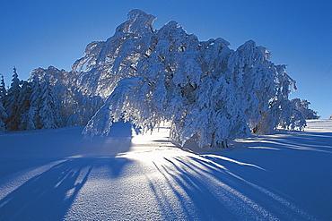 Trees, sun beams, Schauinsland, Black Forest, Baden-Wuerttemberg, Germany
