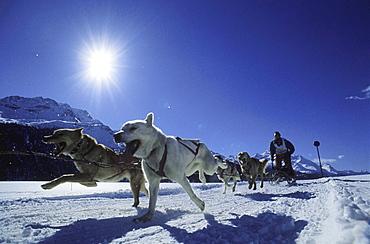 Dogsled race under blue sky