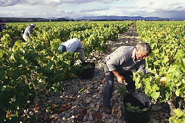Grape harvest near Castanares de Rioja Haro, La Rioja, Spain