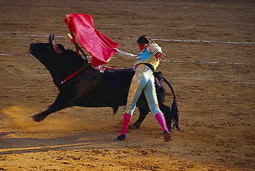 Man and bull at a bullfight, Corrida de Toros, Jerez de la Fronere, Cadiz province, Andalusia, Spain, Europe
