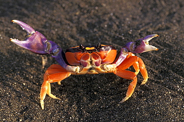 Close up of a crab on the beach, Playa Hermosa, Jaco, Costa Rica, Central America, America