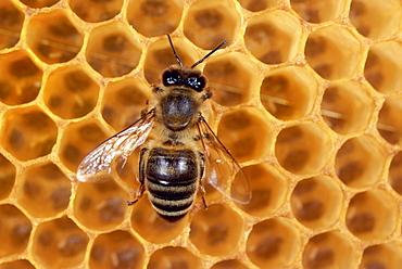 Honey bee at honeycomb, Close-up