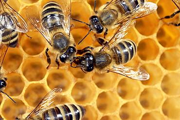 Honeybees on honeycomb, Close-up