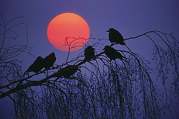 Rooks sitting on a branch at full moon
