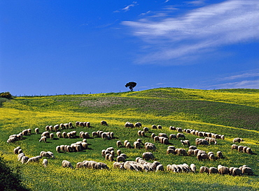 Flock of sheep near Pienza, Tuscany, Italy