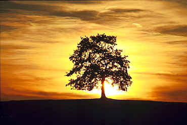 Silhouette of a tree in the evening light, Landscape, Nature