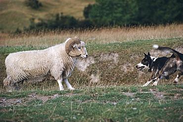 Sheepdog chasing Drysdale ram, New Zealand, Oceania