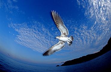 Seagull, Larus argentatus