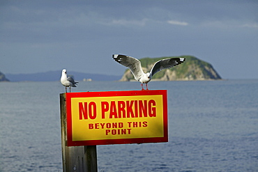 Seagulls on warning sign, Coromandel Peninsula, North Island, New Zealand, Oceania