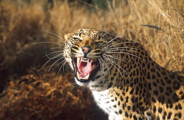 Snarling leopard, big cat, Mammal, Africa
