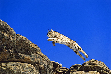 Bob Cat leaping, Felis rufus, North America