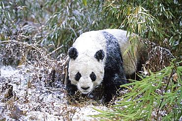Great Panda in Winter, Wolong Valley, China