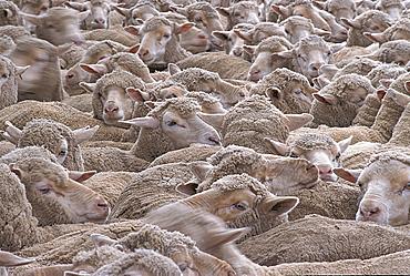 Flock of sheep, Bendigo, Victoria, Australia