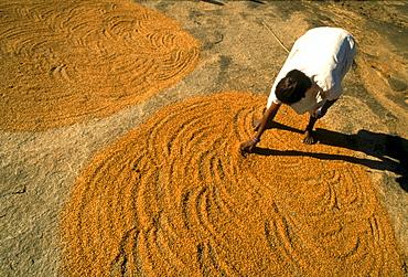 Woman is drying corn in the sunlight, Bihar, Ranchi, India, Asia