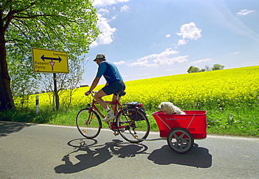 Biker with dog in trailer beside rape field, from Kappeln to Suederbrarup, Schleswig-Holstein, Germany