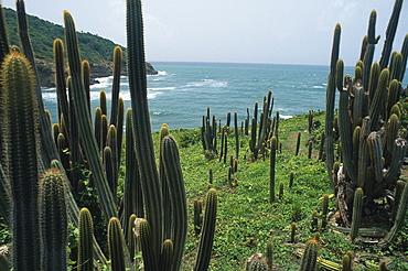 Cactusses at the coast, St. Lucia, Caribbean, America