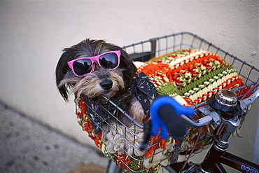 Dog with sunglasses and blanket in bicycle basket, Miami Beach, Florida, USA