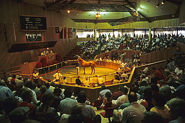 Horse auction, Race horse auction, Yearling Sales, Te Karaka, Gisborne, North Island, New Zealand