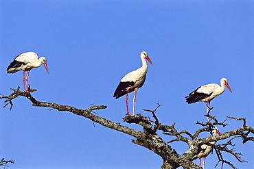 White Storks, Serengeti National Park, Tansania, East Africa