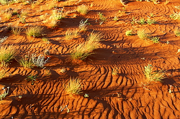 Spinifex Grass in Strzelecki Desert, South Australia