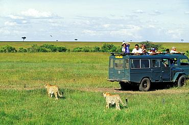 Jeep Safari tour, Tourists taking photographs of Cheetas, Kenya, Africa
